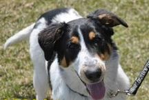 Adopted Dogs / Check out the great dogs that have found Furever homes through the Hamilton/Burlington SPCA www.hbspca.com