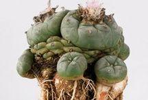 Peyote / Lophophora williamsii