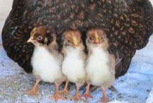 Barnevelder Chicken 2014 / chicken