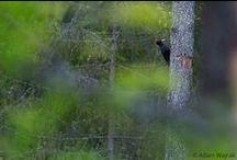 Puszcza Białowieska! / Najpiękniejszy, najbardziej niesamowity i cenny przyrodniczo las Polski - Puszcza Białowieska. Podpisz się pod petycją w jej obronie: www.kochampuszcze.pl