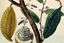Cacao inspired art and botanical drawings
