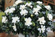 Fragrant flowers for my garden...