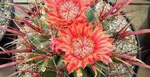 Szukkulensek, kaktuszok