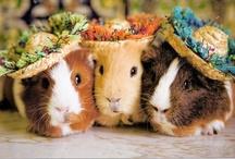 Guinea Piggies!