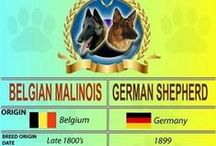 GSD & BSD Malinois