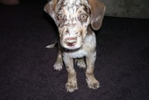 Catahoulas - I ♥ them! / I love Catahoulas! They are the most wonderful breed of dog in the world! / by Marnie Miller