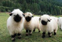 Caprette,agnelli e pecorelle