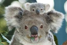Koala Bears / Animali