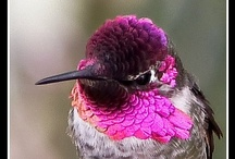 Hummingbirds / Is there anything more beautiful or fascinating than watching a hummingbird?