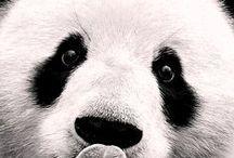 PANDA EVERYTHING