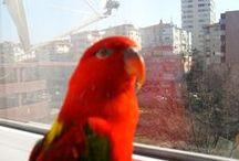 Parrot Avni / Merhaba ben Avni.32 yaşındayım.İstanbul-Turkiye'de yaşıyorum.