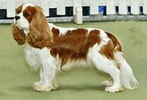 Cavaliers Courteous and Cute / In memory of Henry.