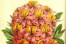 Azalea e Rhododendron / Illustrazioni botaniche