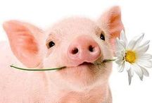 this little piggy...