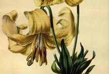 Flore des serres et des jardins de l'Europe, vol. 1-1845 / Illustrazioni botaniche