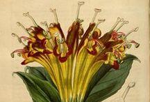 Flore des serres et des jardins de l'Europe, vol. 3-1847 / Illustrazioni botaniche