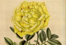 Flore des serres et des jardins de l'Europe, vol. 4-1848 / Illustrazioni botaniche