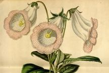 Flore des serres et des jardins de l'Europe, vol. 5-1849 / Illustrazioni botaniche