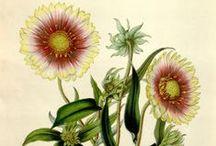 Flore des serres et des jardins de l'Europe, vol. 6-1850-51 / Illustrazioni botaniche