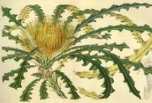 Flore des serres et des jardins de l'Europe, vol. 7-1851-52 / Illustrazioni botaniche