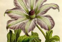Flore des serres et des jardins de l'Europe, vol. 8-1852-53 / Illustrazioni botaniche