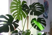 Botanic Garden Plants & Trees for sale in Top Cities / Botanic Garden - Plants for Sale grown in nursery where best garden equipment & tools are used and plants grown with care places like botanic garden, The garden center, gardening workshop, DIY gardening, Grannys garden, urban garden center, string gardens, indoor garden, outdoor gardens, habitat gardening, royal botanic garden & plants around from top cities. Indoor plants, bonsais and succulents, roses and produce plants and seeds ideas from top cities. EXPO: http://www.nepalartshop.com