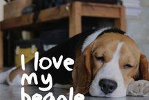 Amigo Beagle