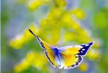 Butterflies / Real butterflies / by Sylvia Lufriu