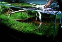 Aquarium and Fish / Fish, fish keeping, reef, marine and freshwater aquariums, terrariums, plants and shrimp / by Barry Linkiewich