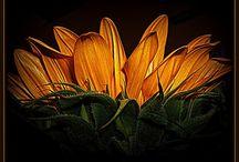 Sunflower love / by Elizabeth Barkley