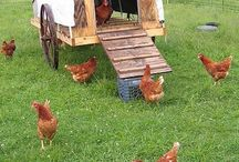 Chickens & Coops