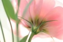 """Мои цветы / В этом альбоме собраны мои фографии цветов. Часть их была представлена на выставке """"Лед и Цветы"""""""