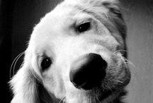 Golden Retrievers / Geen ander dier, hondenras, of wat dan ook, gaat boven de golden retriever!