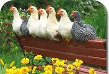 Chickens, Duck, Goose