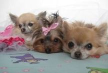 My Beloved Dogs / These Are My Beloved Dogs, They Are Named Carmen, Sophia and Lily. It's My Love.