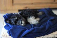 Sherlock the Schnauzer / Pics of our dog, Sherlock... the Miniature Schnauzer <3