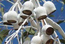 """Eucalyptus"""
