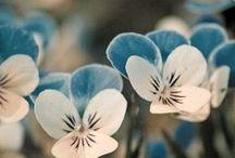 """Blauwe viooltjes"""