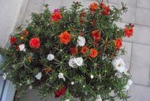 Sevdiğim Çiçekler / Kendi yetiştirdiğim ve istediğim  çiçekler