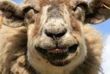 Schaapjes Tellen - compter les moutons / Schapen, schaapjes, sheep, moutons