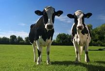 COWS :)