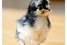 Chicks, Ducks & Rabbits