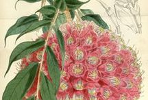Botanical / Botanical illustrations