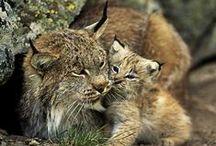 Bobcat / by Lori Walker
