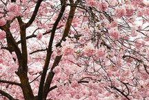Cherry Blossom / by Lori Walker