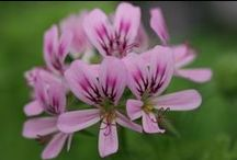 A Passion For Pelargoniums