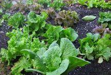 Gardening / gardening, plants, vegetables, fruits, herbs, edible garden, greens, tips, seeds, veggies, container gardening, Indoor gardening / by Tamzie