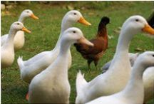 Ducks on Burton Farm / Ducks! Duck habitat, keeping ducks healthy and entertained, keeping ducks safe from predators