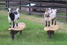 Goats on Burton Farm / Goats. Goad herds. Goat babies. Goat toys. Goat needs. Goat Health. Making Money with Goats.