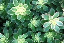 Regale plantas